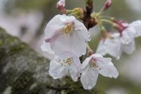 雨に濡れたサクラの花:ソメイヨシノ
