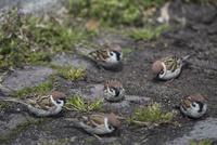 アスファルトのすき間から出たヒゲシバの種子を採餌するスズメの群れ