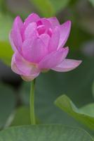 梅雨入り 開きはじめた大賀ハスの花に落ちた雨粒が水玉になる