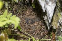 岩陰に作られた巣で身を伏せるキセキレイの雛