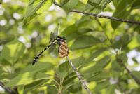 コムラサキを捕食するコオニヤンマ