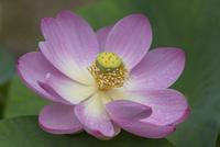 梅雨入り 雨に濡れる大賀ハスの花