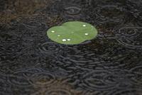 梅雨入り 池にできた雨の波紋とハスの浮き葉の水玉