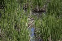 ガマに囲まれた水上に作られた巣で抱卵に入るカンムリカイツブリ