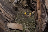 渓流沿いの木の根元に作られたオオルリの巣 生まれたての雛はまだ目が開いていない