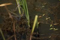 産卵するオオルリボシヤンマ(緑色型)