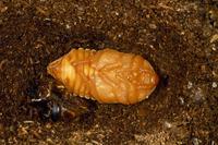 カブトムシの幼虫 蛹になるのメス