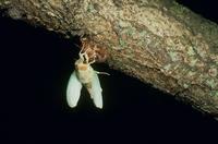 アブラゼミの羽化 桜の木 PM11:10 17-9