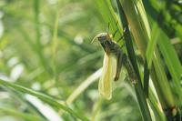 ツチイナゴの羽化 羽が伸びるのを待つ 32053007840| 写真素材・ストックフォト・画像・イラスト素材|アマナイメージズ