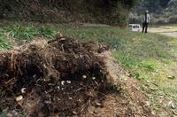 谷戸田の春 堆肥の中にいるカブトムシの幼虫