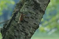ヒグラシ サクラの木