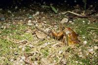 公園にて 地上に出てきたアブラゼミの幼虫 (PM7:30)
