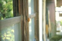 アブラゼミのぬけがら 民家の窓で見つけたよ