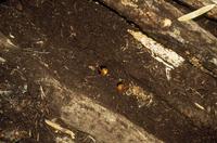 カブトムシ蛹 ほた木の下で蛹を見つける