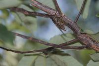 アベマキの木で クマゼミ