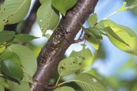 桜の木で クマゼミ
