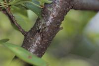 桜の木で ニイニイゼミ