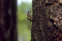 ツクツクボウシ ハンノキに産卵する