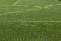 夏の水田風景 苗が生長し風になびく