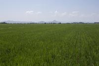 平野部に広がる夏の水田風景 生長する苗