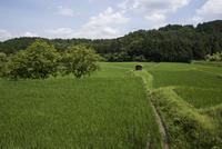 山里に広がる夏の水田と葉の緑が濃くなった畔のカキノキ