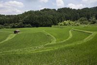 山里に広がる夏の水田風景