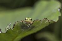 雨上がり サトイモの小さな葉に飛び乗ったアマガエルの幼体と水玉