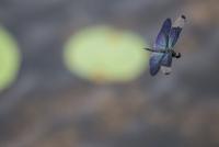 夏の池で チョウのようにひらひらと飛翔するチョウトンボのオス