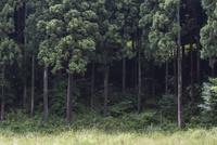 渡りの途中 林縁を群れで飛翔するウスバキトンボ