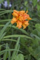 夏の水田脇で開花し雨に濡れたヤブカンゾウ オシベとメシベが弁化