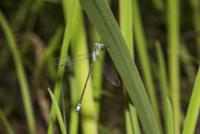 水際の草陰に止まるアオイトトンボのオス