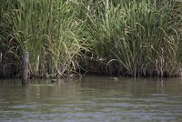 夏のヨシ原を直線的に飛翔するカワセミのメス