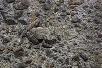 清流の堰堤ブロックに同化するカジカガエル、保護色