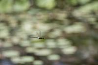 ハスの葉が広がる池の上をパトロール飛行するギンヤンマ