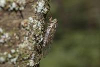 サクラの木で鳴くヒグラシのオス