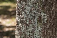 夏の雑木林、クヌギの樹皮に同化したヒグラシ