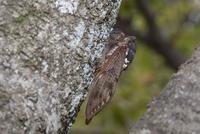 サクラの樹皮に産卵管を差し込み産卵するアブラゼミ