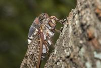 サクラの樹皮に長い口吻を差し込み樹液を吸うアブラゼミ