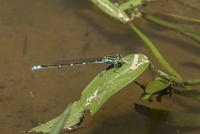 夏の水田水路で小さな昆虫を補食するオオイトトンボ