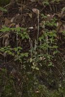 夏の林下で開花したミヤマウズラ