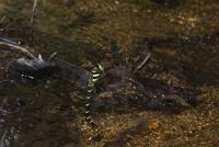 山地の小さな清流で打水産卵するオニヤンマ