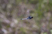 縄張りを巡回飛行するオオシオカラトンボのオス