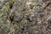 クヌギの木でカシノナガキクイムシの穿孔付近を歩き回るルイスホソカタムシ