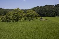 夏の水田風景、垂れはじめた稲穂と畔のカキノキ