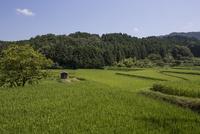 夏の水田風景、稲穂が垂れはじめた棚田