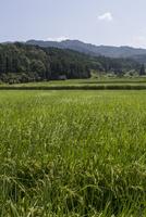 夏の水田風景、稲穂が垂れはじめる