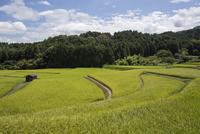 夏の終わりころ黄金色に色づきはじめた水田風景
