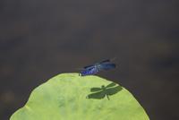 池の上を飛翔するチョウトンボ、ハスの葉に影が映る