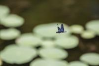 ハスの葉が広がる池の上をパトロール飛行するチョウトンボ