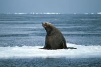 流氷上のトド 32057000025| 写真素材・ストックフォト・画像・イラスト素材|アマナイメージズ